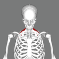 Serratus posterior superior muscle frontal.png