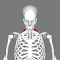 Serratus posterior superior muscle frontal.png