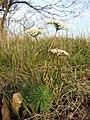 Seseli annuum + Euphorbia cyparissias sl1.jpg
