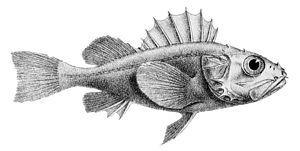 Scorpaeniformes - Setarchidae: Deepwater scorpionfish, Setarches guentheri