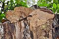 Several balcony arranged Daedalea quercina (Oak Mazegill or Mazegill Fungus, D= Eichenwirrling, F= Dédalée du chêne, NL= Doolhofzwam)(Querus=Oak=Eiche=Chêne=Eik), white spores and causes brownrot, at an oaktrunk at - panoramio.jpg