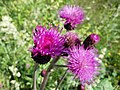 Shaving Brush - Creeping Thistle (Cirsium arvense) - panoramio.jpg