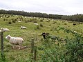 Sheep, Knockmoyle - geograph.org.uk - 1507549.jpg