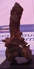 Fossiler Wirbel eines Spinosauriers in einer Vitrine