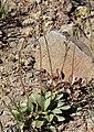 Sierra saxifrage Saxifraga aprica.jpg