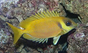 Rabbitfish - ''S. corellinus (Blue-spotted spinefoot)