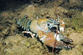 Signal Crayfish Photo Credit- Roger Tabor (USFWS) (6093365240).jpg