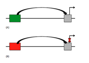 Silencer (genetics) - A simple image of how an enhancer and a silencer affect the function of a promoter region