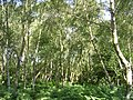 Silver birch trees at the Bramble Hill car park, New Forest - geograph.org.uk - 27298.jpg