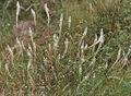 Silver cockscomb (Celosia argentea) in Hyderabad, AP W IMG 7949.jpg