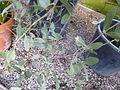 Simmondsia chinensis (DITSL).JPG