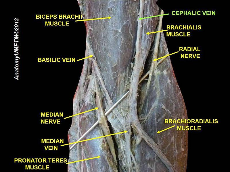 cephalic vein - howlingpixel, Human Body