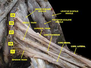 Levator scapulae muscle - Image: Slide 1cord