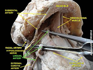 Lingual artery - Image: Slide 3fff