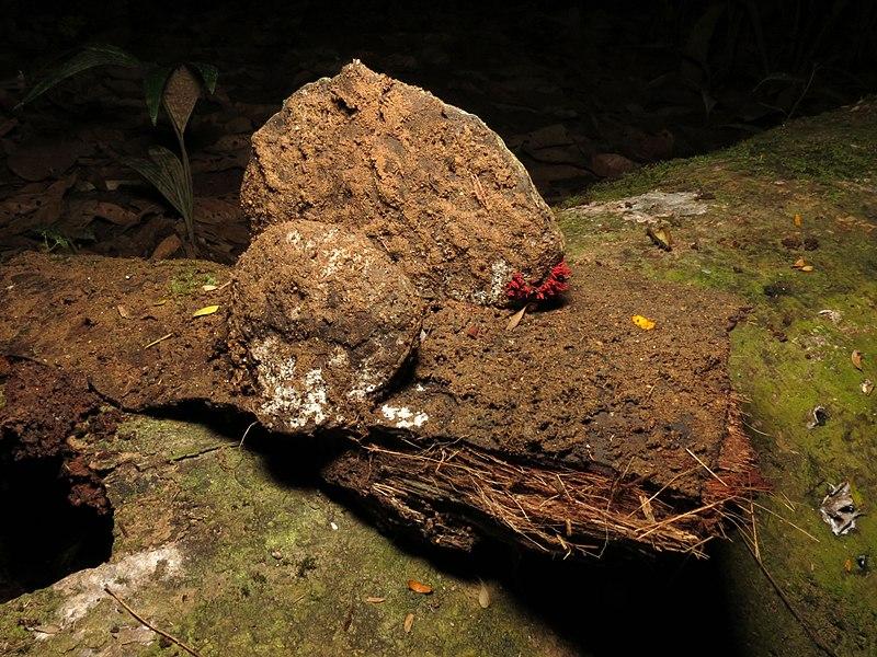 File:Slime Mould Growing on Shelf Fungus - Flickr - treegrow.jpg