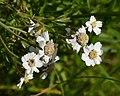 Sneezewort (Achillea ptarmica) - Oslo, Norway 2020-08-04.jpg