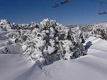 Snow Gums Perisher   Images Guru