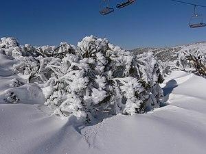 Eucalyptus pauciflora - Snow gum, Australian Alps, showing the tree's ability to survive in deep snow