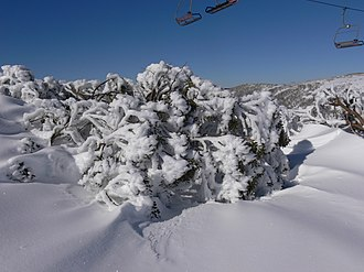 Eucalyptus pauciflora - Snow gum, Australian Alps, showing the tree's ability to survive in deep snow
