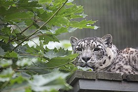 Snow leopard in Korkeasaari Zoo.jpg