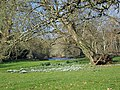 Snowdrops, Little Durnford Manor - geograph.org.uk - 692262.jpg
