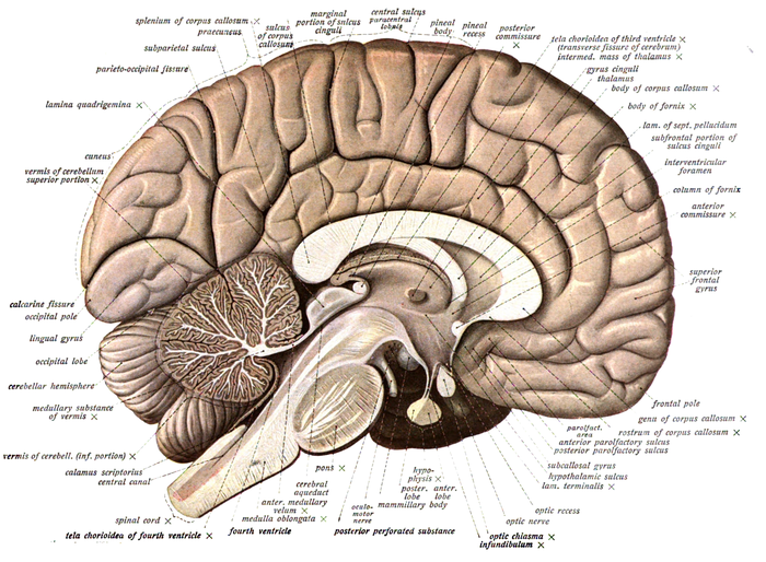 Neuroanatomy is the study of the anatomy and organisation of the nervous system. Pictured here is a cross-section showing the gross anatomy of the human brain Sobo 1909 624.png