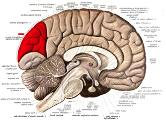 Cuneus - Medial surface of left cerebral hemisphere. (Cuneus visible at left in red.)