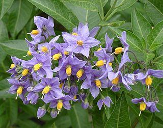<i>Solanum crispum</i> species of plant
