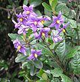 Solanum sanches-vegae journal.pone.0010502.g004.jpg