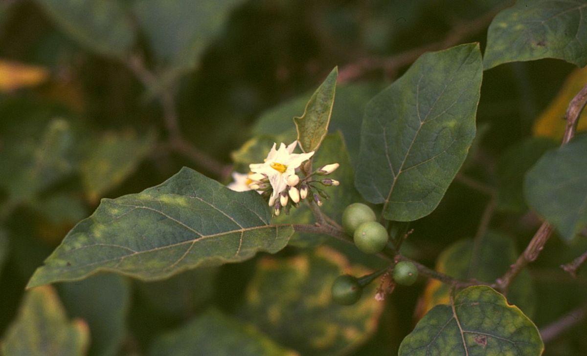 Resultado de imagem para Solanum Torvum
