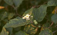 Solanum torvum 2.jpg