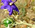 Solanum tridynamum.jpg
