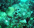 Solitary ascidians, Castle Rock 12 April 2004.jpg