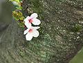 SomeiYoshinoBlossomsBark3881.jpg
