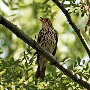 Song Thrush (Turdus philomelos) singing in a tree