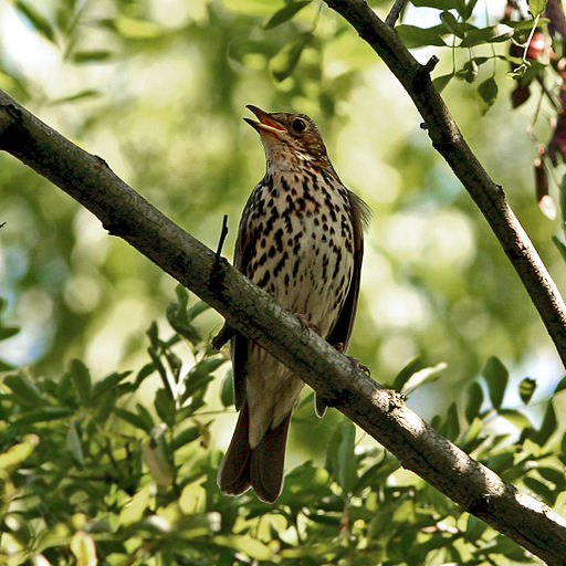 Song Thrush (Turdus philomelos) singing in tree