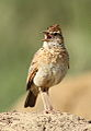 Song and dance routine of the Rufous-naped Lark, Mirafra africana at Rietvlei Nature Reserve, Gauteng, South Africa (15857350258).jpg