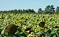 Sonnenblumenfeld - panoramio.jpg