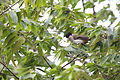 Sooty-headed bulbul (Pycnonotus aurigaster) in Bangka Island, Indonesia.JPG