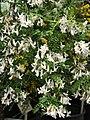 Sophora microphylla 01.jpg