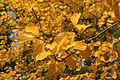 Sorbus alnifolia 'Submollis' JPG1La.jpg