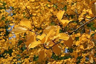 Sorbus alnifolia - Image: Sorbus alnifolia 'Submollis' JPG1La