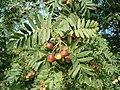 Sorbus domestica FruitsLeaves BotGardBln0906a.JPG