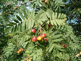 Sorbus domestica - Image: Sorbus domestica Fruits Leaves Bot Gard Bln 0906a