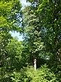 Sorbus torminalis sl20.jpg