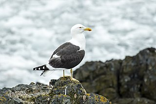 Kelp gull Species of bird