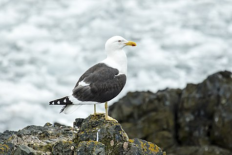 SouthShetland-2016-Livingston Island (Hannah Point)–Kelp gull (Larus dominicanus).jpg