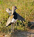 Southern Lapwing (Vanellus chilensis) showing its carpal spurs ... (28737830403).jpg