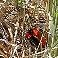 Southern Red Bishops (Euplectes orix) couple (31941060544).jpg