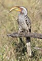 Southern Yellow-billed Hornbill, Tockus leucomelas at Mapungubwe National Park, Limpopo, South Africa (18305273221).jpg